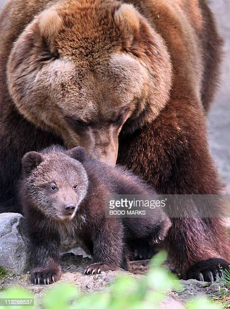 A young male Kamchatka Brown Bear explores his enclosure with his mother Mascha at the animal park Hagenbeck in Hamburg northern Germany on April 29...