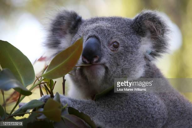 Young male koala named 'Jan' is seen in a outdoor koala pen at Port Macquarie Koala Hospital on September 14 in Port Macquarie, Australia....