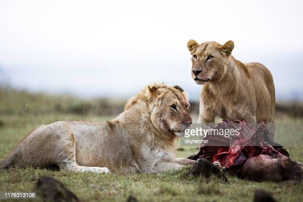 young male lion and lioness eating in the wild. - cat skeleton stock photos and pictures