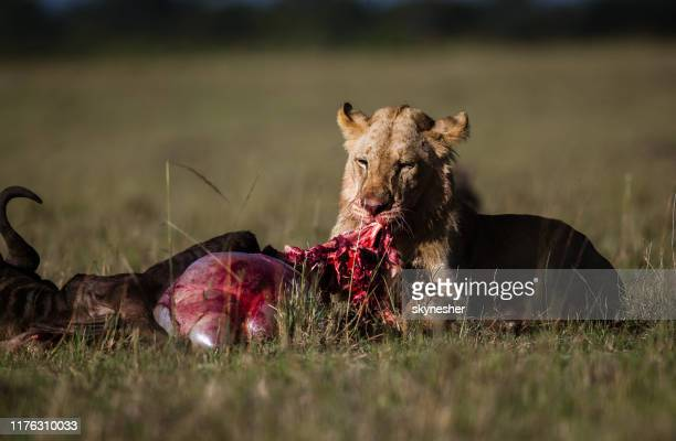 young male lion eating wildebeest in the wild. - carnivora stock pictures, royalty-free photos & images