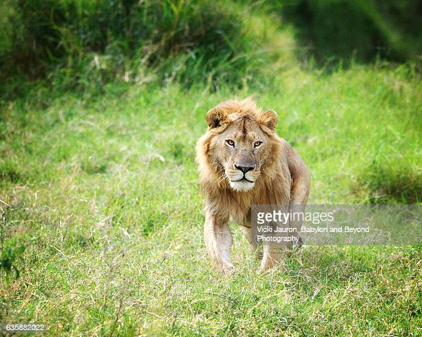 young male lion on the hunt in the serengeti national park, tanzania - manly wilder stock-fotos und bilder