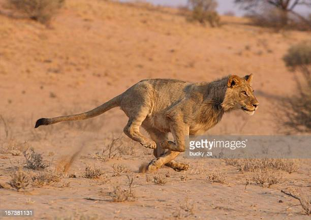 young male lion running at speed . - lion stockfoto's en -beelden
