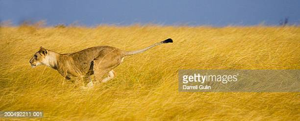 young male lion (panthera leo) running, side view - leones cazando fotografías e imágenes de stock