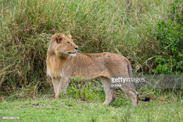 Young male lion, teenager animal, Africa