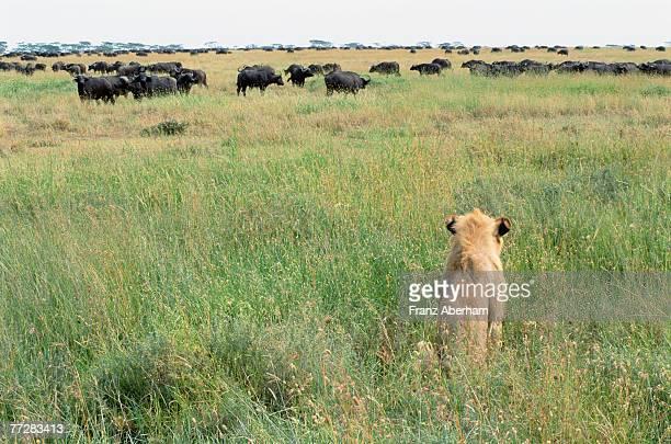 Young male lion watching buffalo