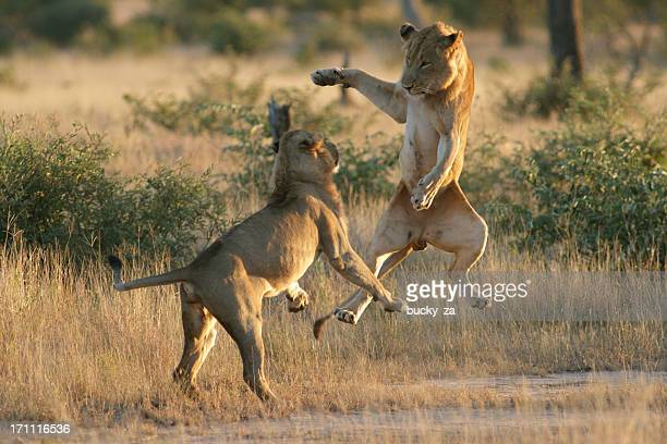 Young male lions playing with each other, jumping into air.