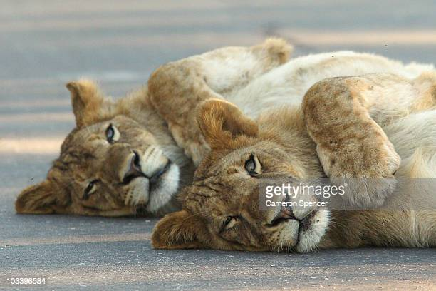 Young male lions relax on a sealed road at the Pafuri game reserve on July 23 2010 in Kruger National Park South Africa Kruger National Park is one...