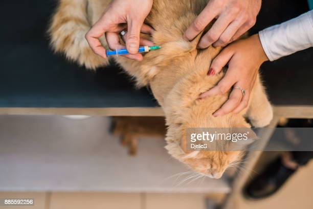 Young male Maine Coon cat taking a vaccine.