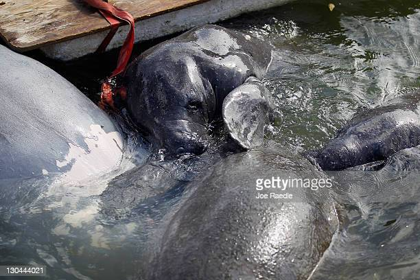 Young male manatees swim next to a dead female manatee on October 26 2011 in Miami Beach Florida Dr Maya Rodriguez from Miami Seaquarium's...