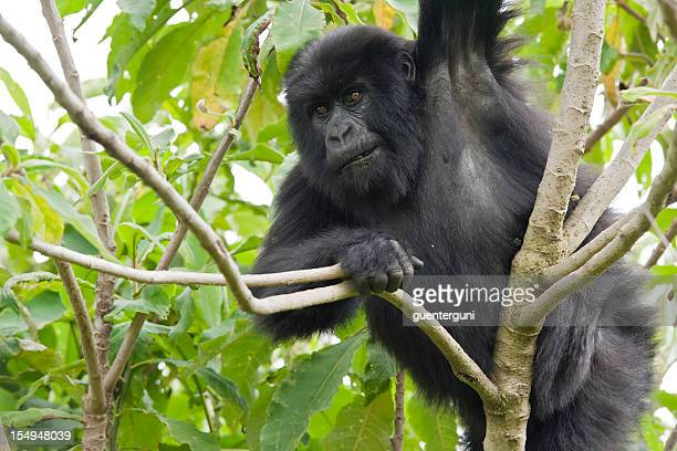 Young male mountain gorilla sitting in a tree, wildlife shot