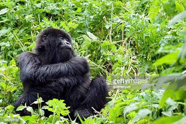 young male mountain gorilla, wildlife shot