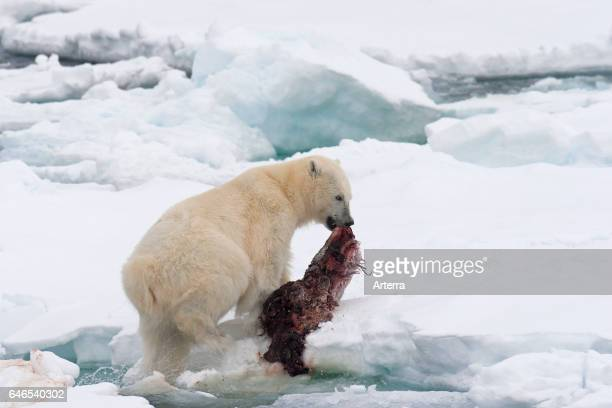 Young male polar bear feeding on the remains of a killed seal on pack ice