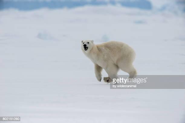 Young male polar bear running along the frozen sea ice, northern Baffin Island, Canada.