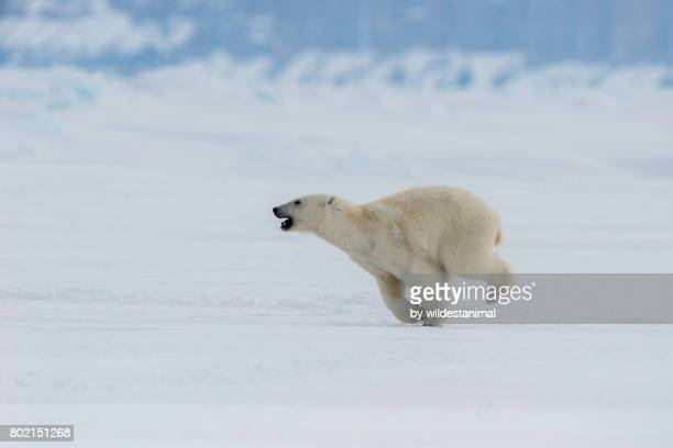 Young male polar bear running along the frozen sea ice, northern Baffin Island, Canada.