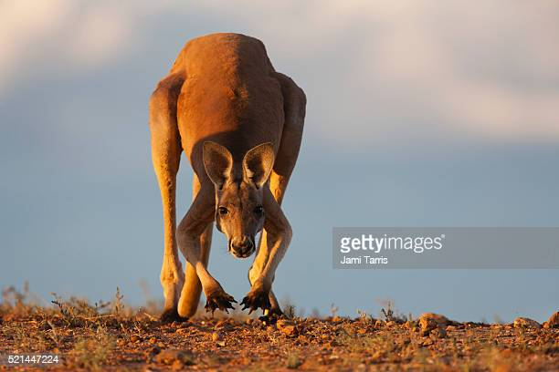 A young male red kangaroo hopping slowly with front paws up