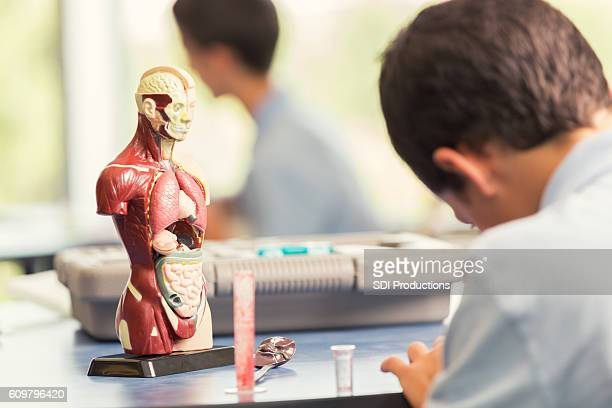 young male student sits in class with an anatomical model - anatomical model stock pictures, royalty-free photos & images