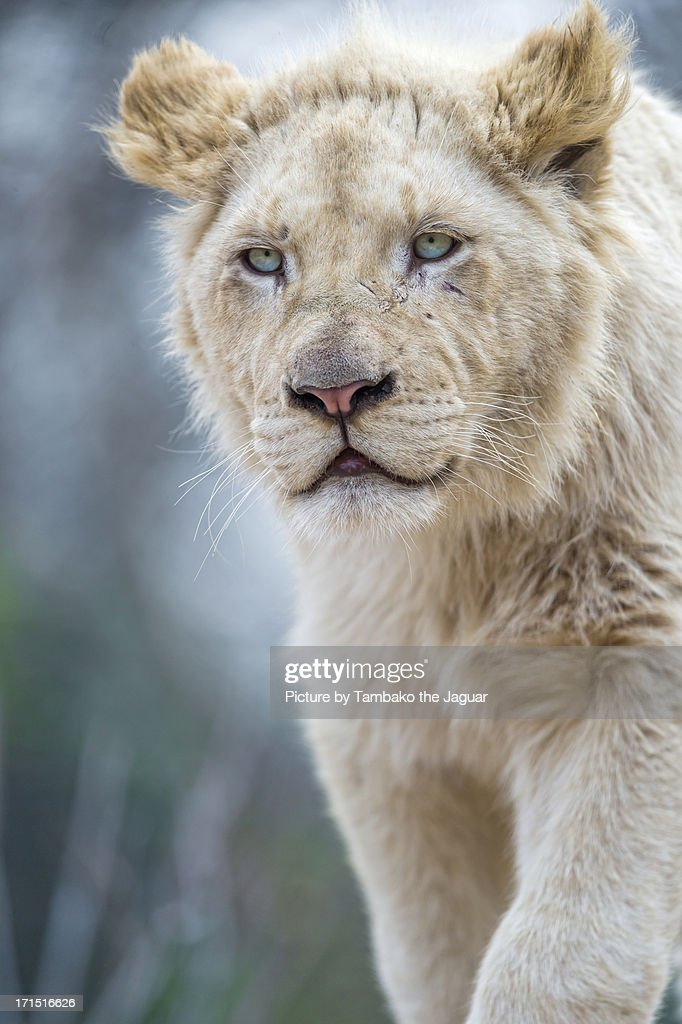 Young male white lion : Stock Photo