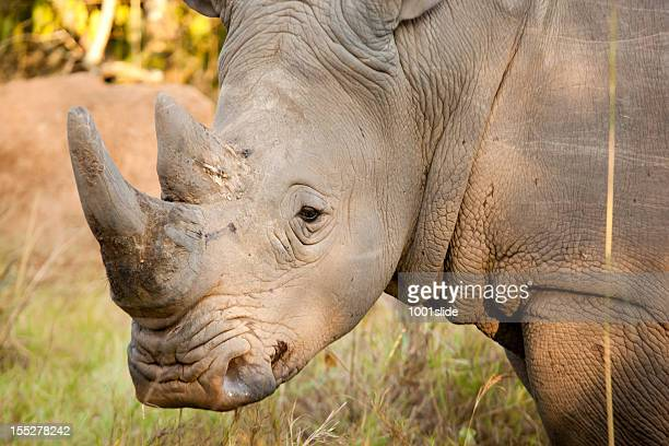 Young Male White Rhino