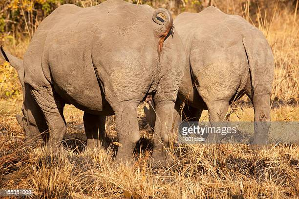 Young Male White Rhinos - pissing