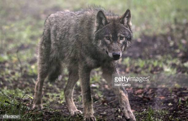 A young male wolf one of five that has recently arrived explores its new enclosure at The Wild Place Project on March 13 2014 in Bristol England A...