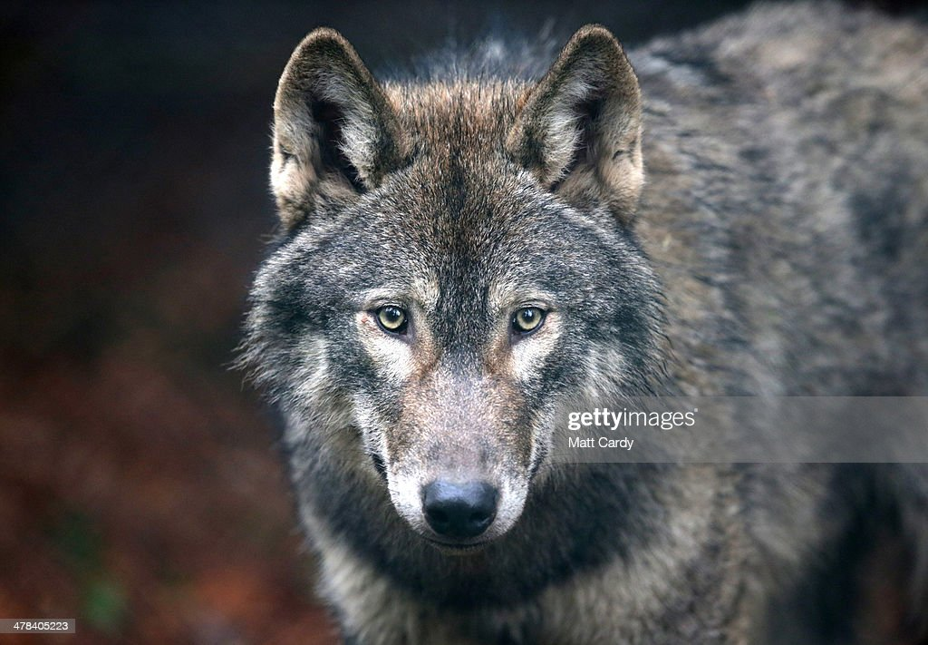 Wild Place Project Welcomes A Pack Of Wolves : Nyhetsfoto