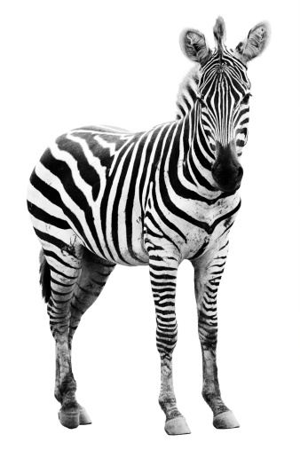 Young male zebra 457390069