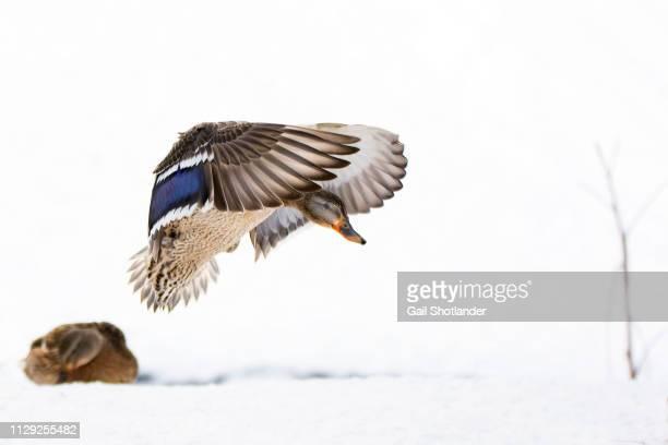 Young Mallard Duck landing