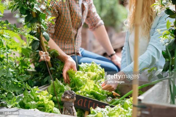 young man and woman picking lettuces from wooden trough - participacion ciudadana fotografías e imágenes de stock
