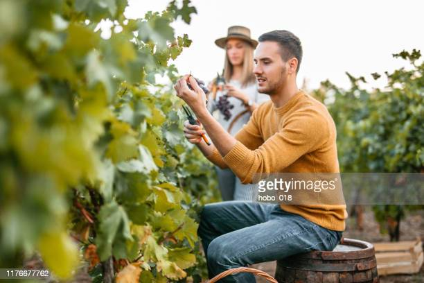 young man and woman picking up grapes - grape harvest stock pictures, royalty-free photos & images