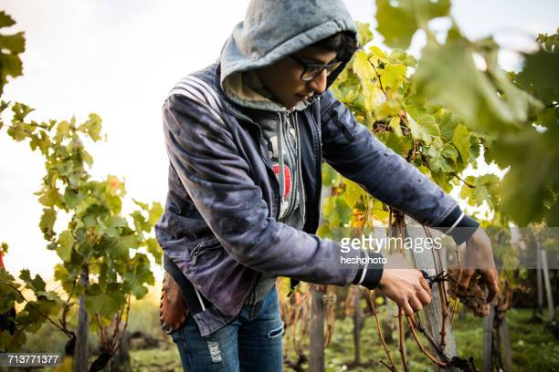 young man cutting grapes from vine in vineyard - heshphoto stock pictures, royalty-free photos & images
