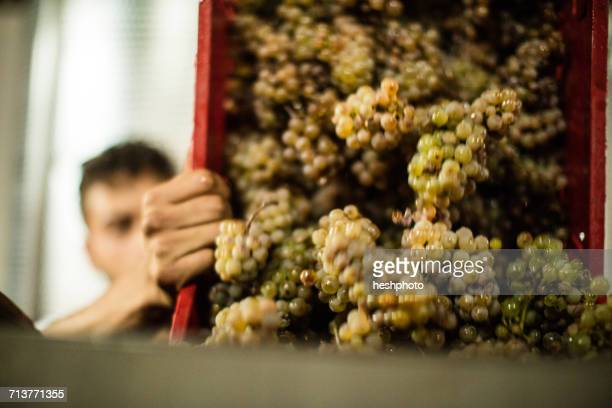 Young man emptying harvested grapes from vineyard crate