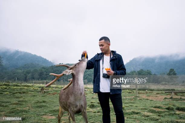 young man feeding deer in deer farm, bandung - bandung stock pictures, royalty-free photos & images