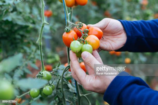 Young man gathering tomatoes in greenhouse