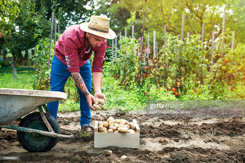 Young man harvesting potatoes in vegetable garden : Stock Photo