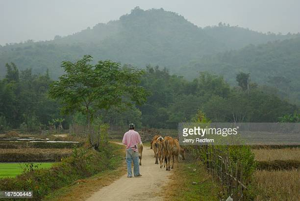 A young man herds cattle down a path in rural Shan State Myanmar The majority of people in this impoverished country make their living off of the...