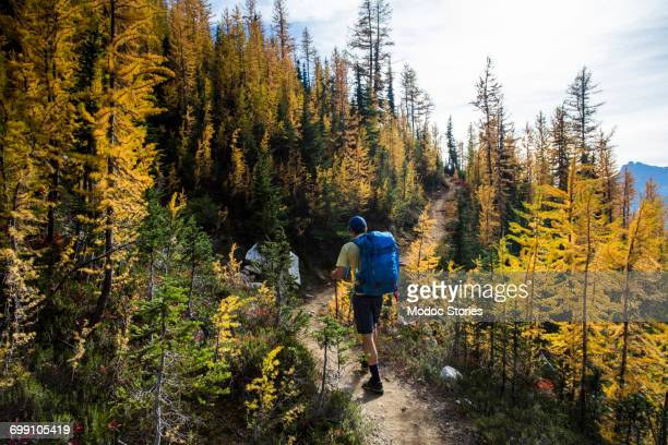 a young man hikes through the colorful larch trees in the pasayten wilderness on the pacific crest trail (pct) in washington. - pacific crest trail stock pictures, royalty-free photos & images