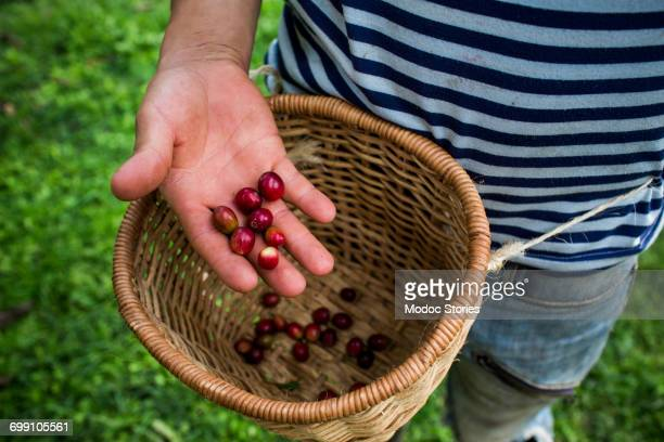 A young man holds freshly picked, red coffee beans on a farm in rural Colombia.