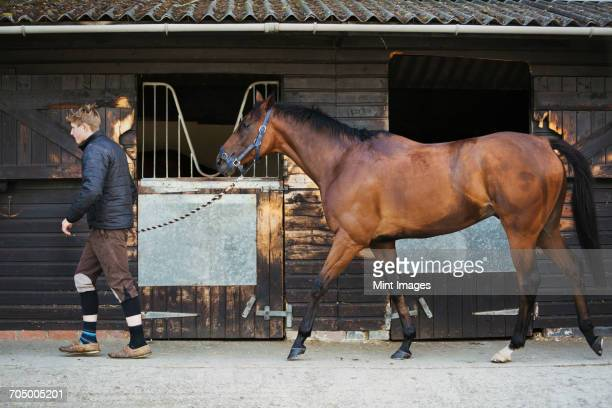 a young man in a stable yard with a bay horse on a leading rein. - racehorse stock pictures, royalty-free photos & images