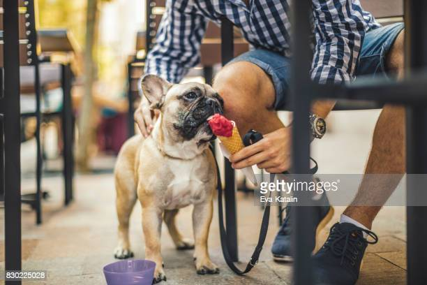 young man in the city with his french bulldog - dog eating stock photos and pictures