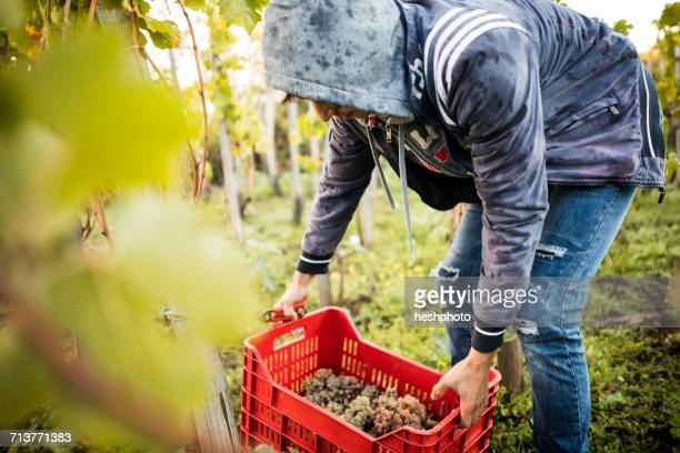 young man lifting grape crate in vineyard - heshphoto photos et images de collection