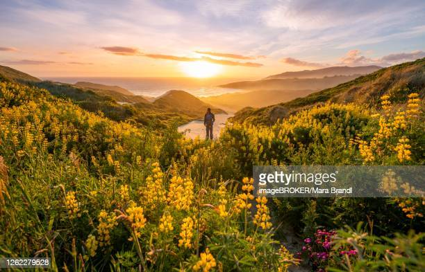 young man looking at bay, sunset, yellow lupins (lupinus luteus) on sand dunes, view of coast, sandfly bay, dunedin, otago, otago peninsula, south island, new zealand - dunedin new zealand stock pictures, royalty-free photos & images