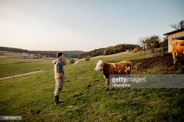 young man looking at cow - hands in pockets stock pictures, royalty-free photos & images