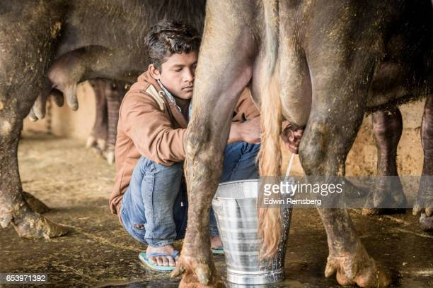 Young man milking buffalo