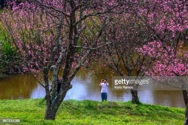 Young man photographing cherry tree flowering on the lakeside in Bunkyos, held July 7, 2018 in Sao Roque Sao Paulo in Brazil.