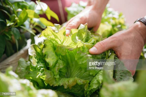 young man picking lettuce from wooden trough, close-up - レタス ストックフォトと画像