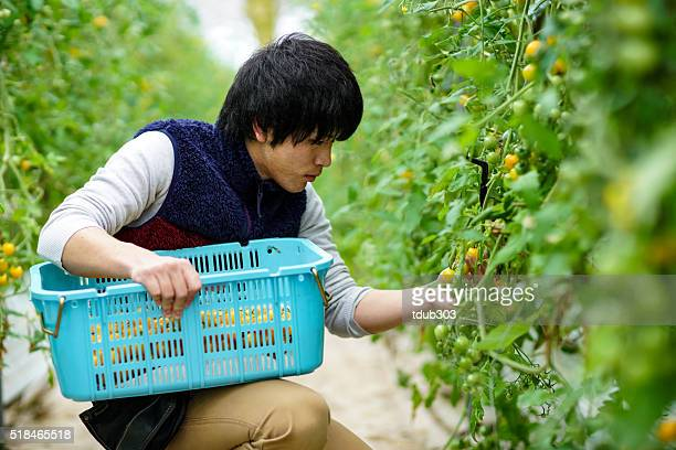 Young man picking tomatoes in a greenhouse