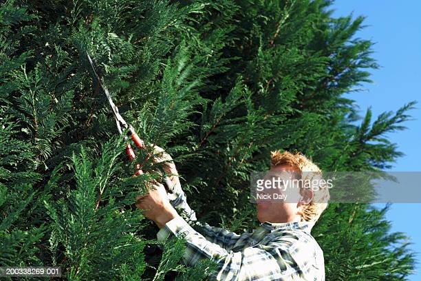 Young man pruning hedge, low angle
