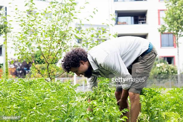 Young man searching potato beetles in an urban garden