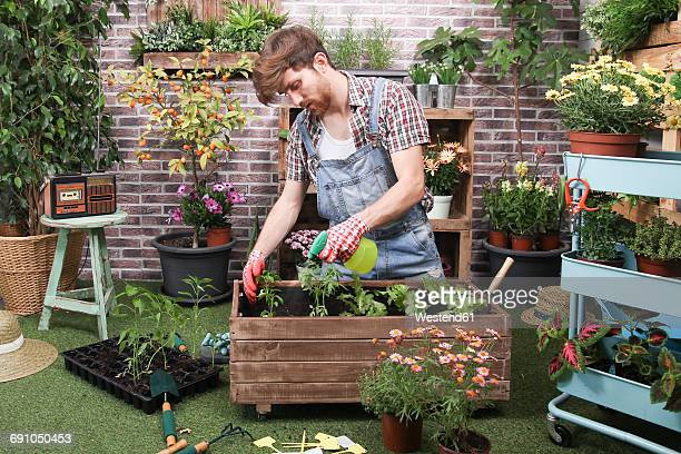 young man spraying container with tomatoe plants, pepper plants and lettuce in the urban garden - bib overalls stock pictures, royalty-free photos & images