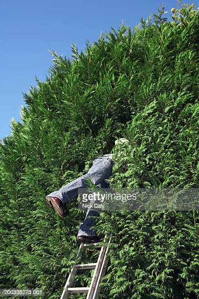 Young man standing on ladder looking into hedge, side view, low angle